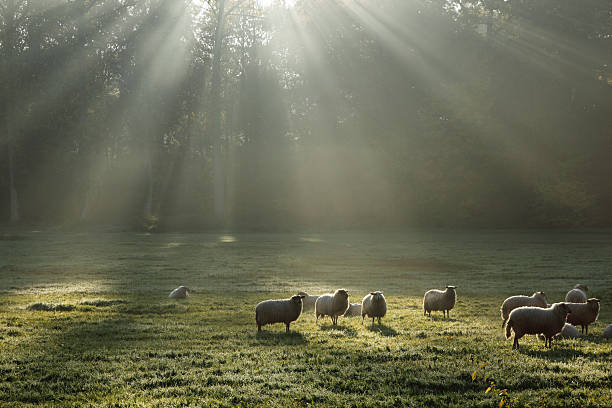 Sheep in the morning stock photo