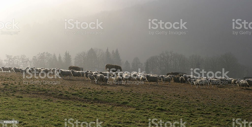 sheep in the morning royalty-free stock photo