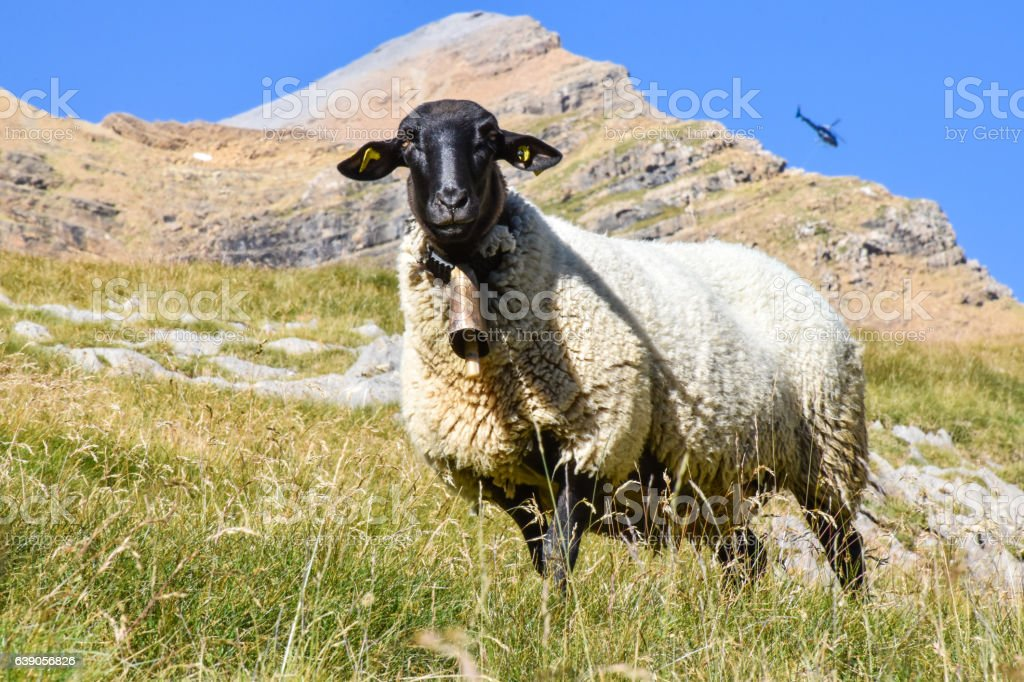 Sheep in the mountain backed up by a helicopter stock photo