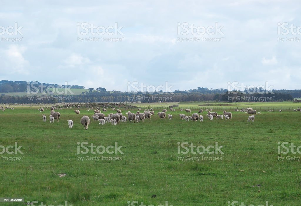 Sheep in the paddock royalty-free stock photo