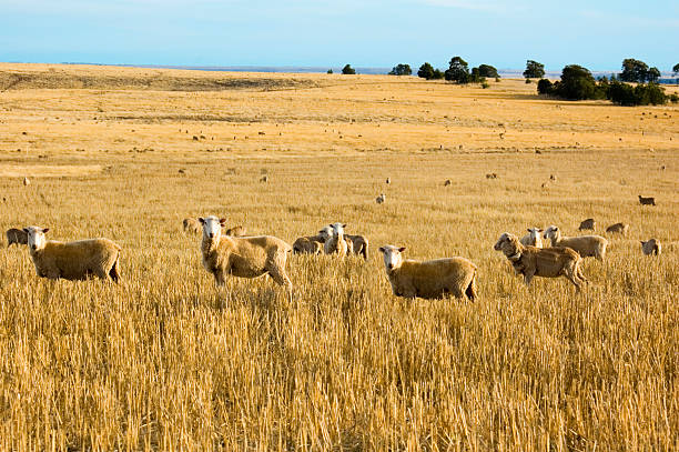 Sheep in the Paddock stock photo