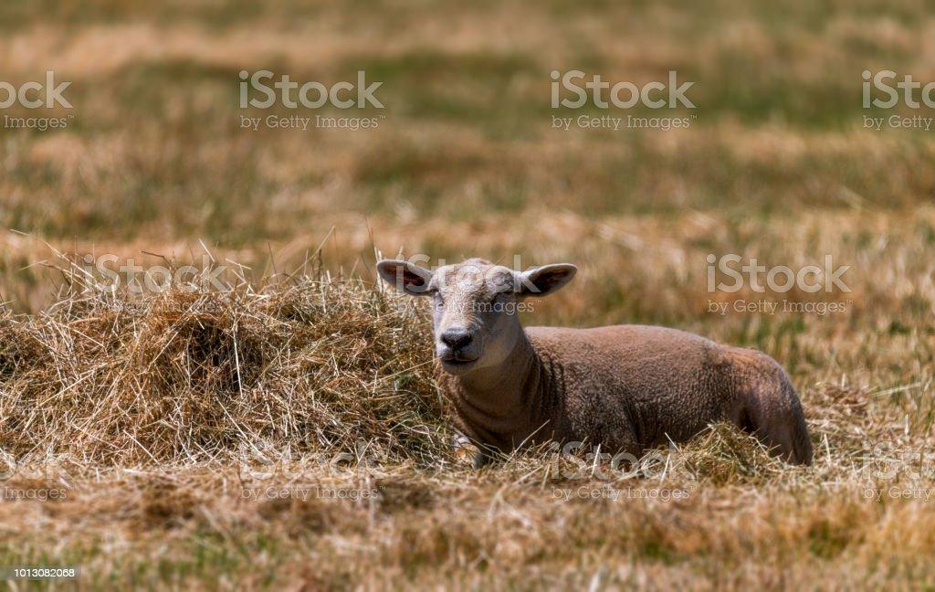 Sheep in the sun. stock photo