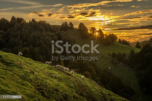 Sunset in the countryside. Sheep are seen along the hill ridge. Shot in Waikato region, New Zealand.