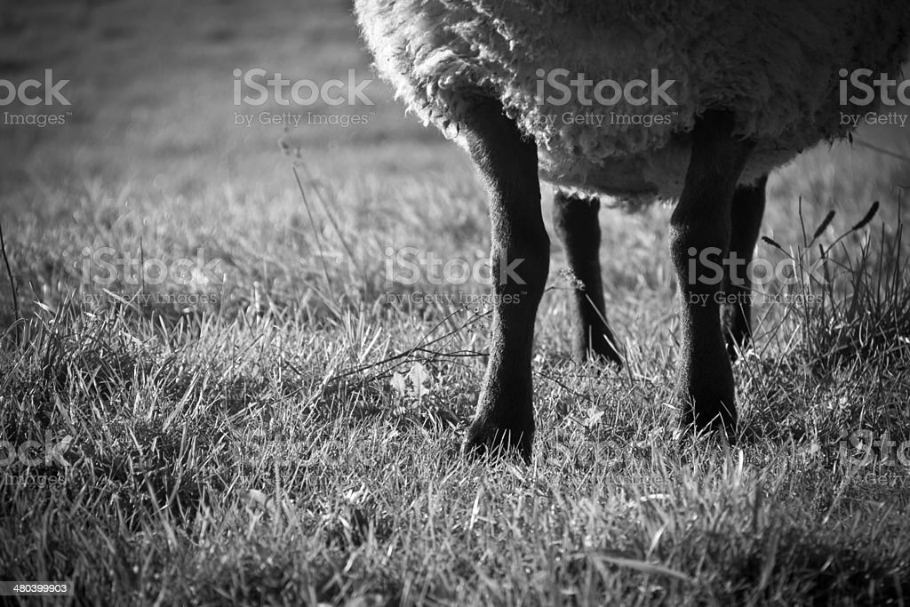 Sheep in the sun royalty-free stock photo
