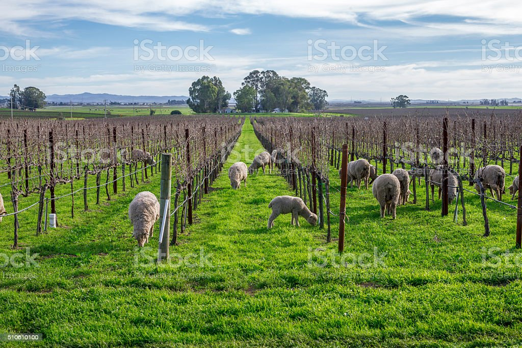 Sheep in the Vineyard , Napa, California stock photo