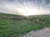 Sheep herding on grass with sunset