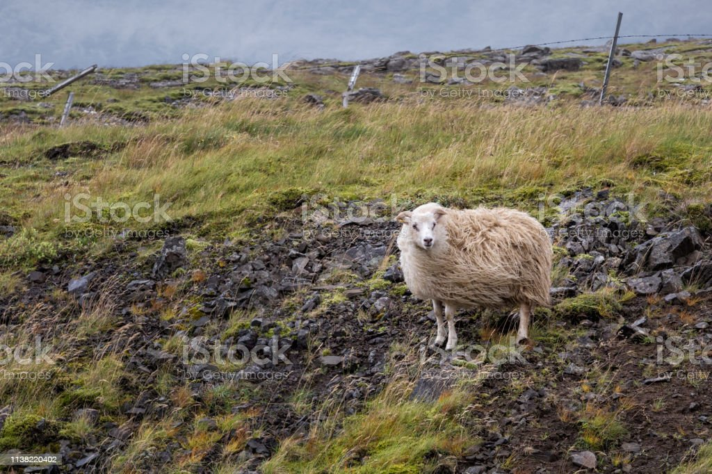 Sheep In The Wind, Iceland stock photo