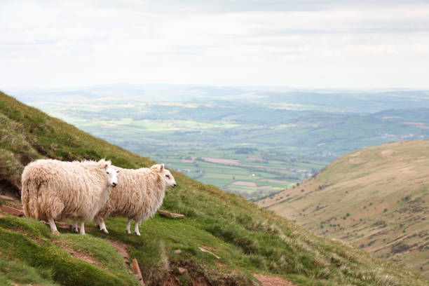 Sheep in Wales Two sheep in the Brecon Beacons look out over countryside in South Wales welsh culture stock pictures, royalty-free photos & images