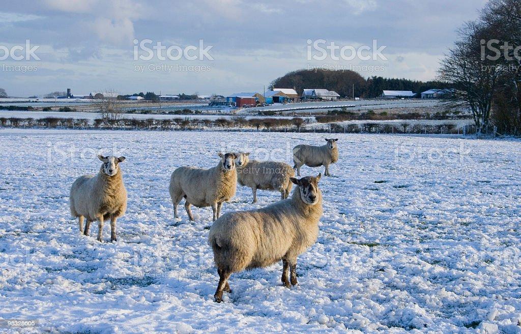 Pecore in inverno foto stock royalty-free