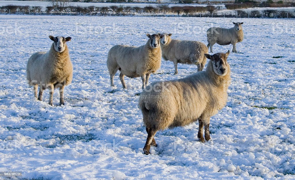 Sheep in winter royalty-free stock photo