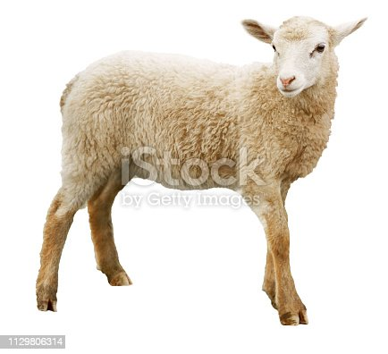 Sheep looking at camera. Isolated on white background