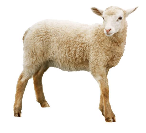 schapen geïsoleerd op witte achtergrond - schaap stockfoto's en -beelden