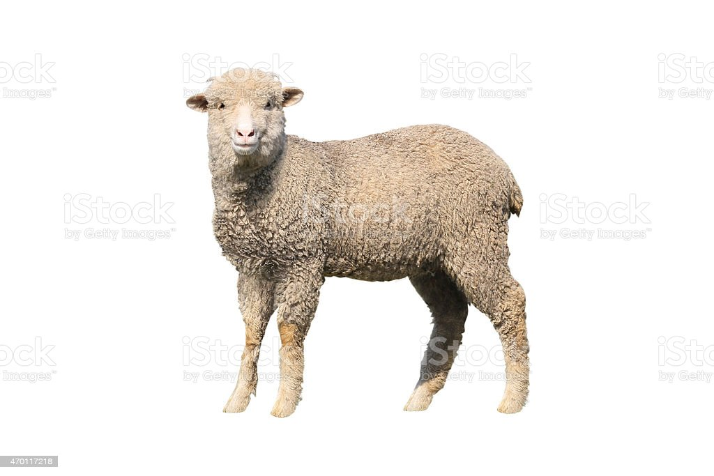 sheep isolated stock photo