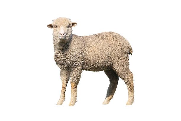 Pecore isolata - foto stock
