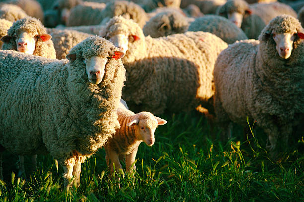 Sheep Lamb Flock Sidelight in the Afternoon Sunlight Sheep Lamb Flock Sidelight in the Afternoon Sunlight, Canon 5dMkii Lens EF70-200mm f/2.8L USM ISO 100 merino sheep stock pictures, royalty-free photos & images