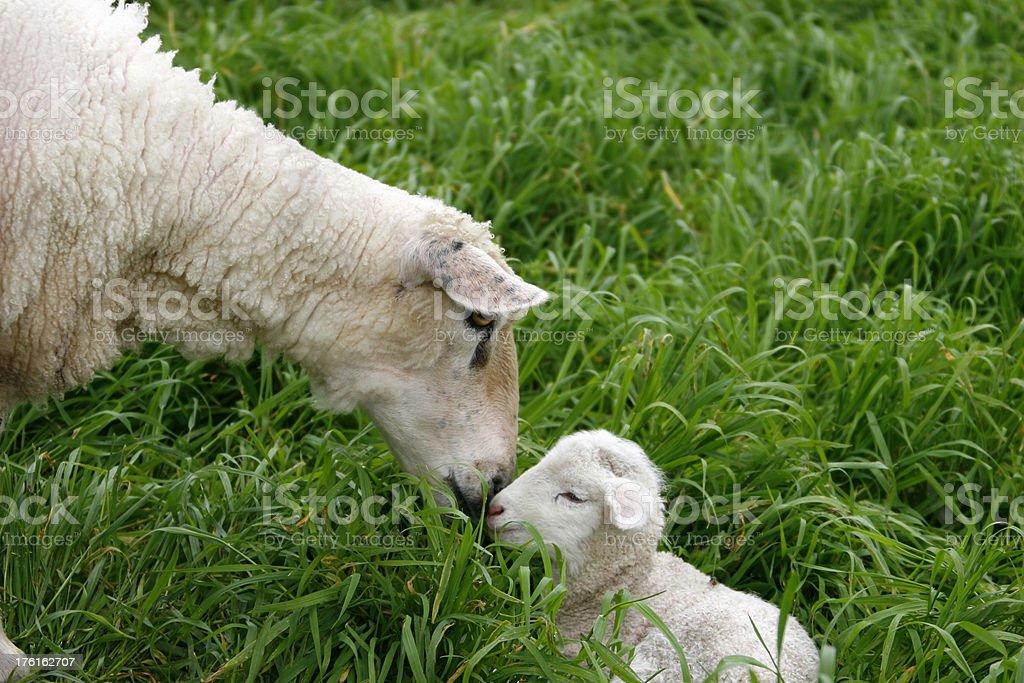 Sheep & Lamb royalty-free stock photo