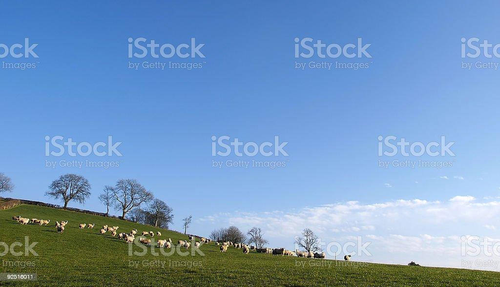 Sheep Landscape royalty-free stock photo