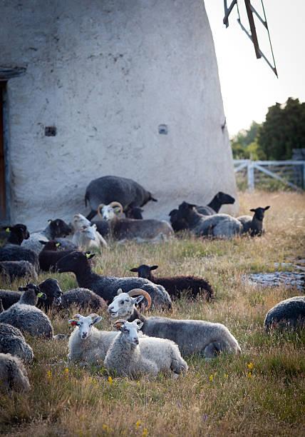 Schaf Bauchlage Essen an einem Sommerabend in Schweden – Foto
