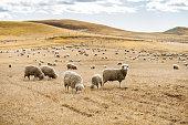 sheep livestock in argentina