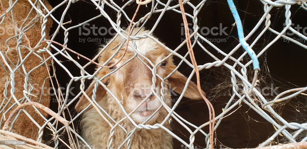 Sheep looking at the camera. sheep looking through the fence stock photo