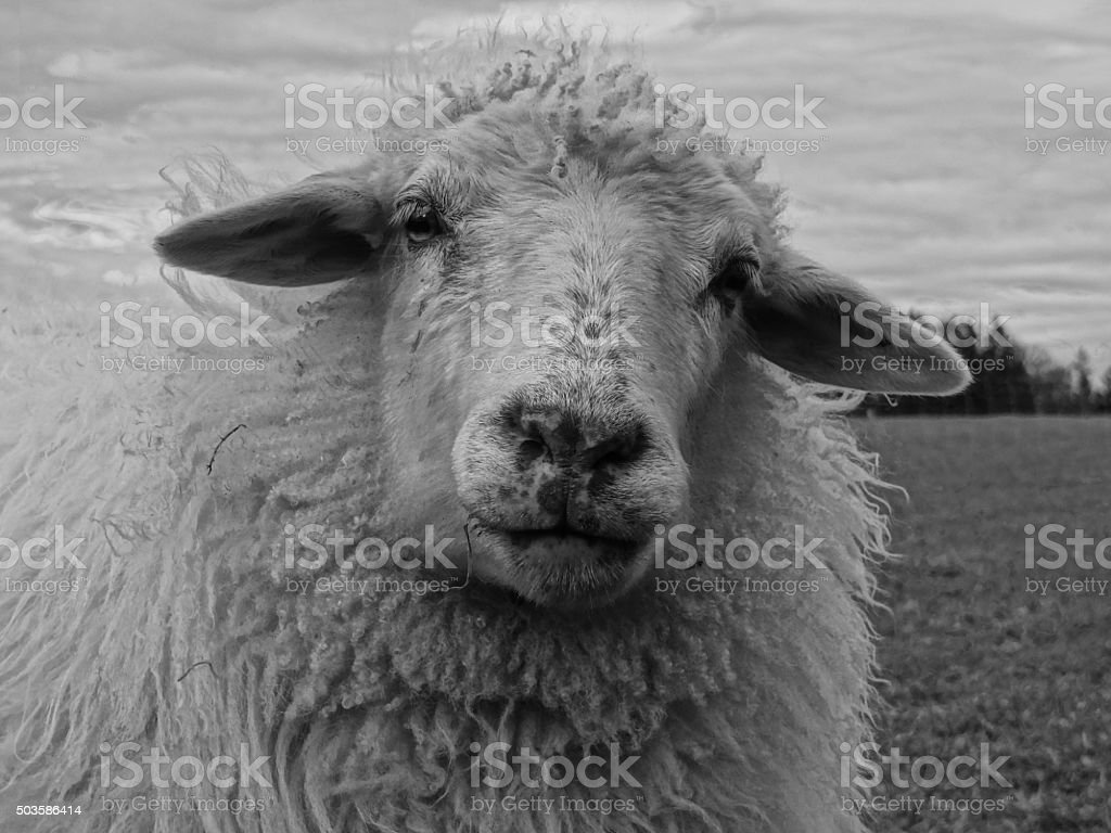 Sheep looking into the camera stock photo