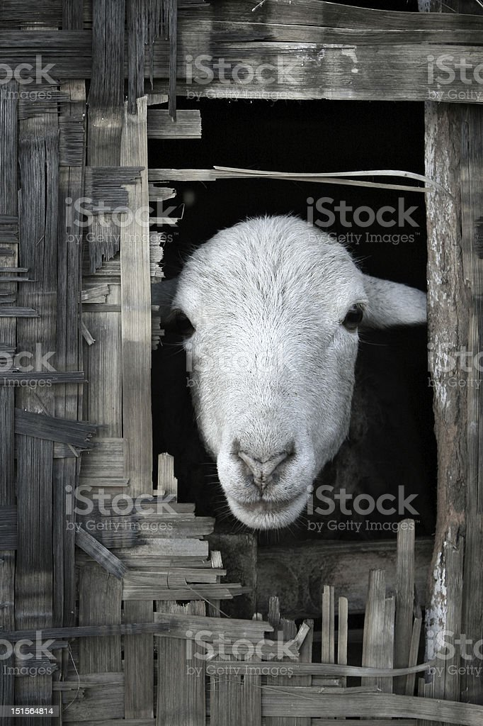 Sheep looking out from thatched bamboo hut royalty-free stock photo