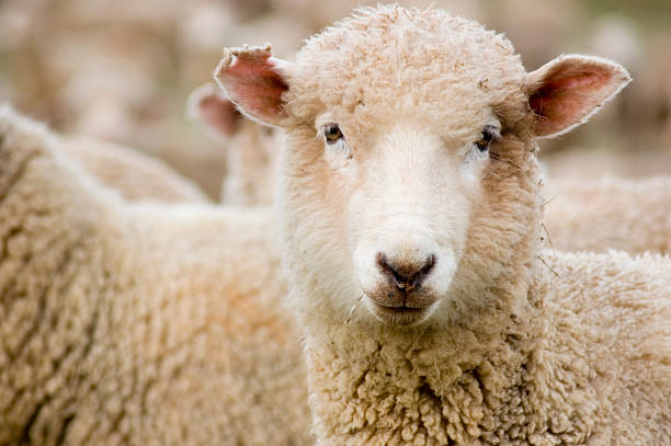Sheep Looking  merino sheep stock pictures, royalty-free photos & images