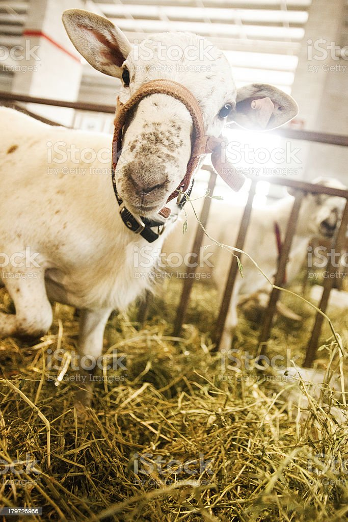 Sheep looks at the Camera royalty-free stock photo