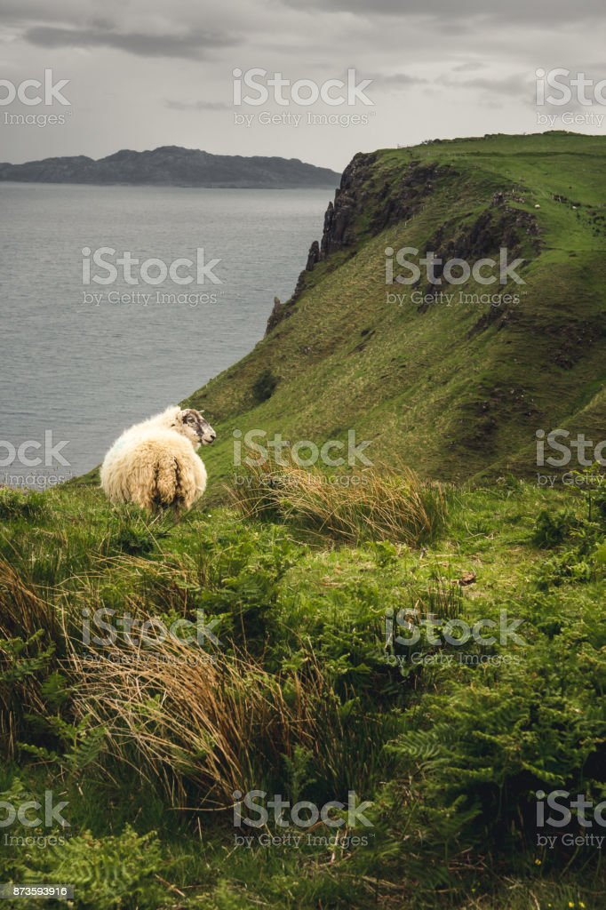 A sheep looks out from the hillside it's grazing on, just downhill from Lealt Falls, Isle of Skye, Scotland stock photo