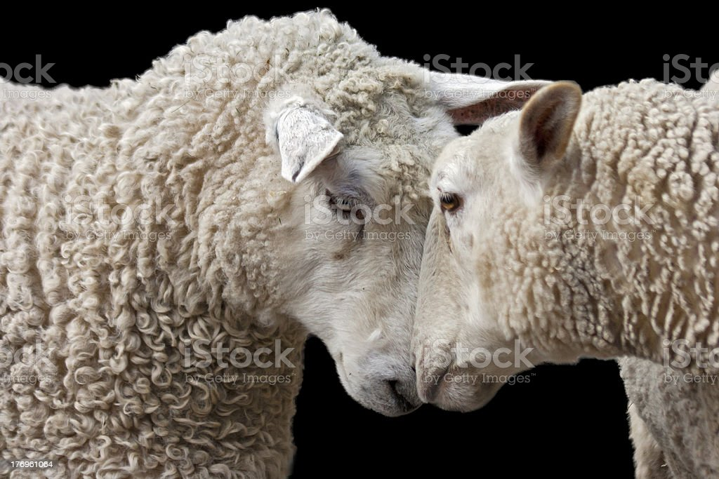 sheep love stock photo