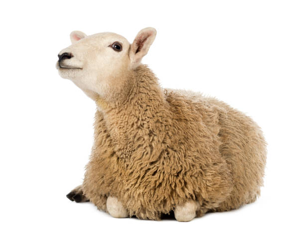 Sheep lying and looking up against white background - foto stock