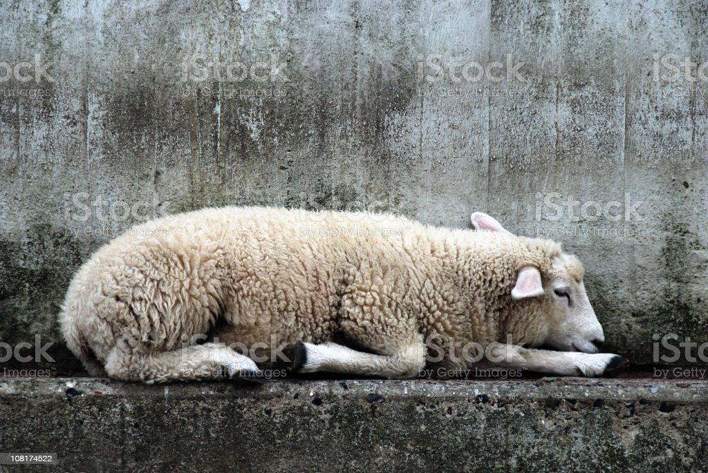 Sheep Lying on Concrete royalty-free stock photo