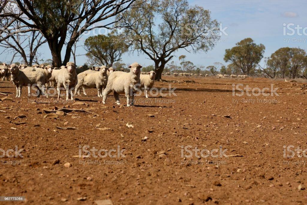 Sheep - Merino Ewes stock photo