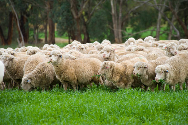 Sheep merino. Beautiful merino grazing on rich grass, Merino wool and meat is exported all over the World, originally imported from Spain the breed has bee very successful in Australia making it one of the major exports for Australia. merino sheep stock pictures, royalty-free photos & images