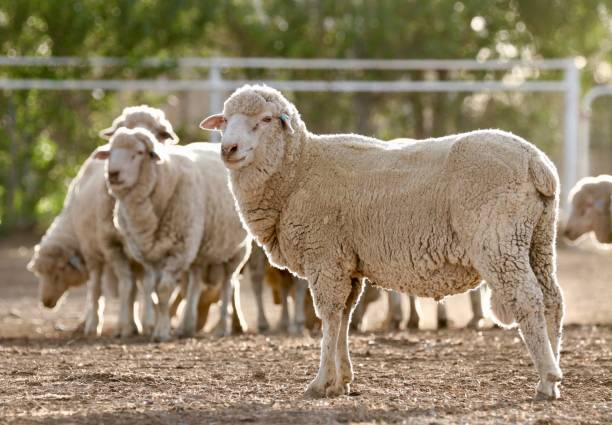 Sheep - Merino Rams Sheep backlit by sun merino sheep stock pictures, royalty-free photos & images