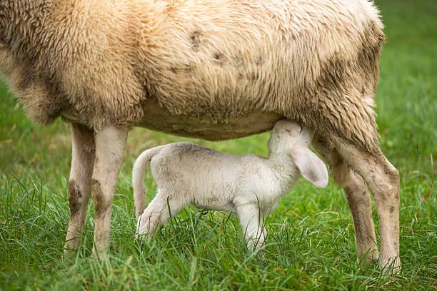 Sheep mother and lamb suckling stock photo