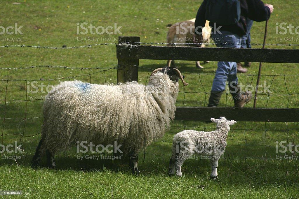 sheep mother and lamb watching walker royalty-free stock photo