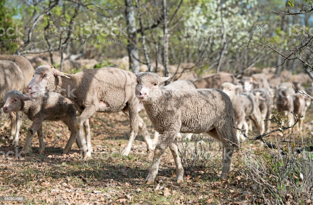 Sheep moving to another pasture stock photo