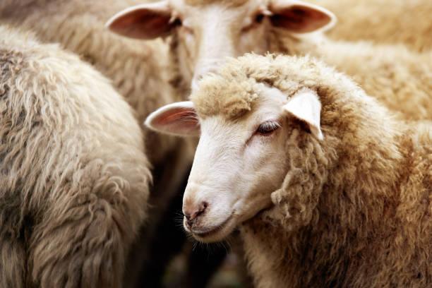 schapen snuit buitenshuis. staan en staren fokken landbouw dier - schaap stockfoto's en -beelden