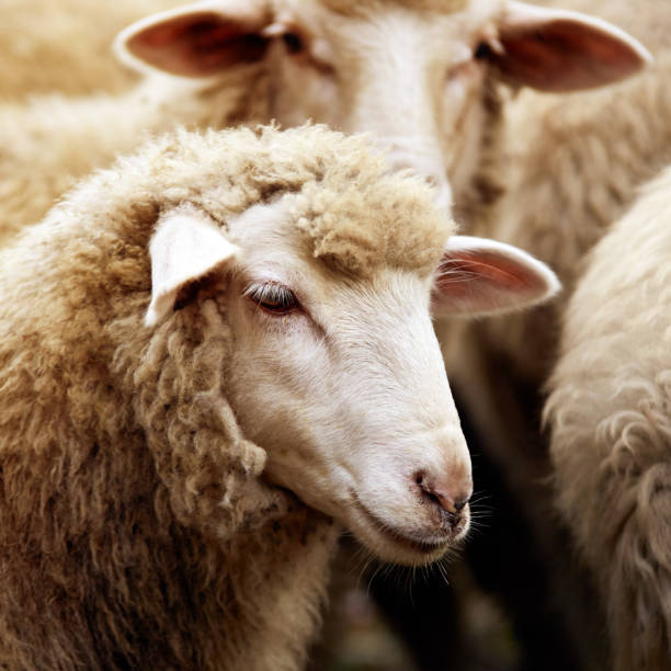 Sheep muzzle outdoors. Standing and staring breeding agriculture animal - foto stock