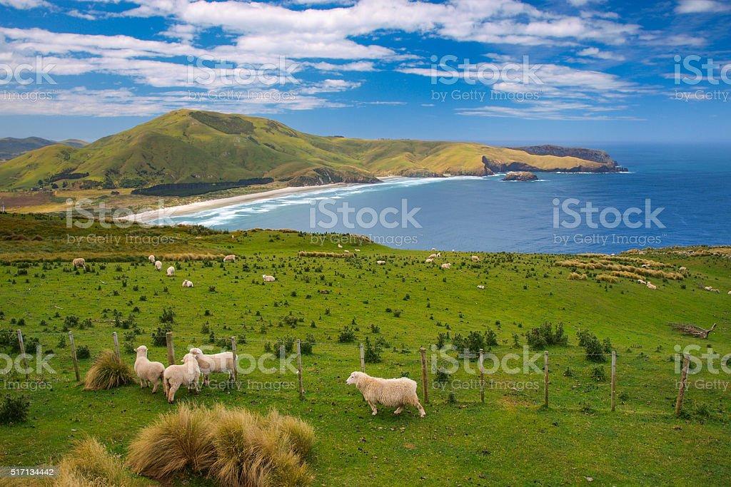 Sheep New Zealand stock photo