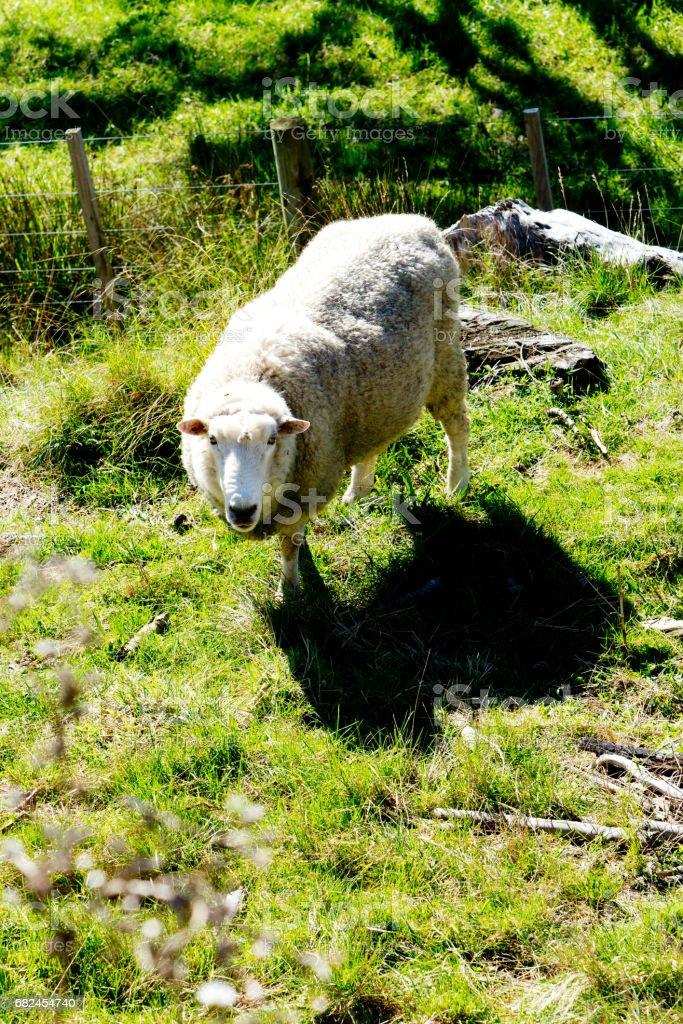 Sheep - New Zealand Стоковые фото Стоковая фотография
