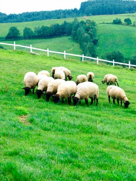 moutons de la prairie - année du mouton photos et images de collection