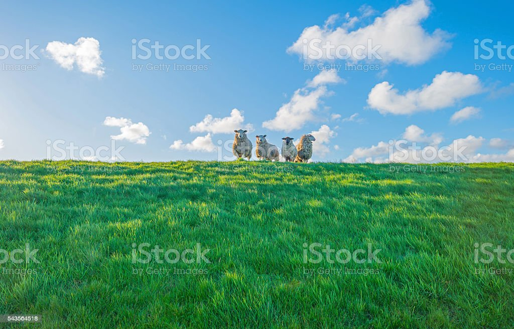 Sheep on a dike at sunrise in spring stock photo