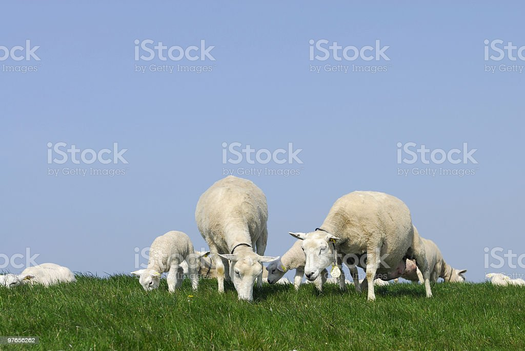 Sheep on a dyke royalty-free stock photo