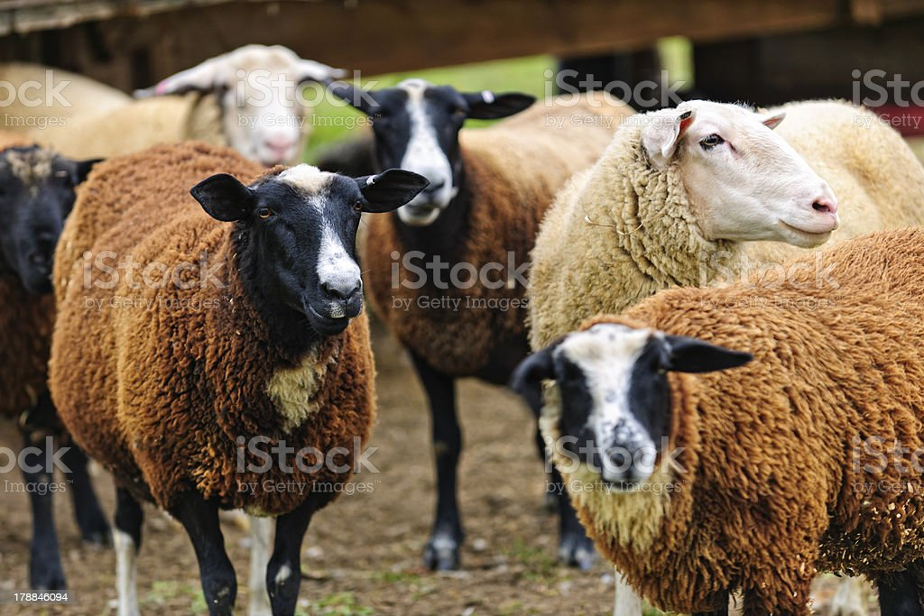 Sheep on a farm royalty-free stock photo