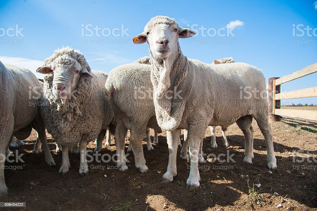 Sheep on a farm stock photo