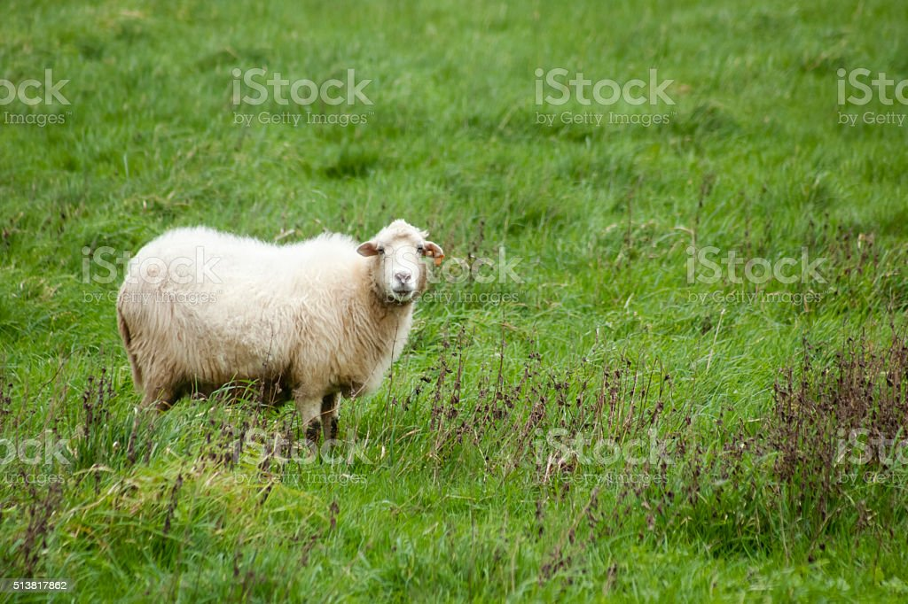 Sheep on a green meadow. stock photo