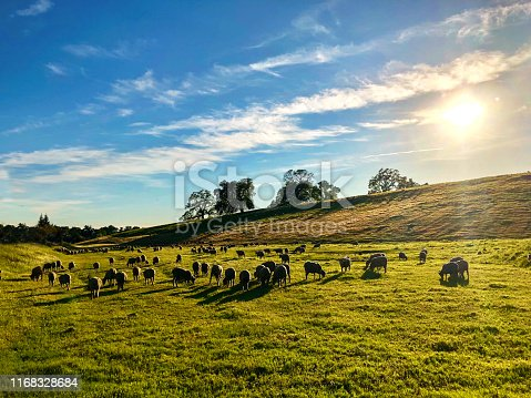 Grazing sheep on a small hill in California