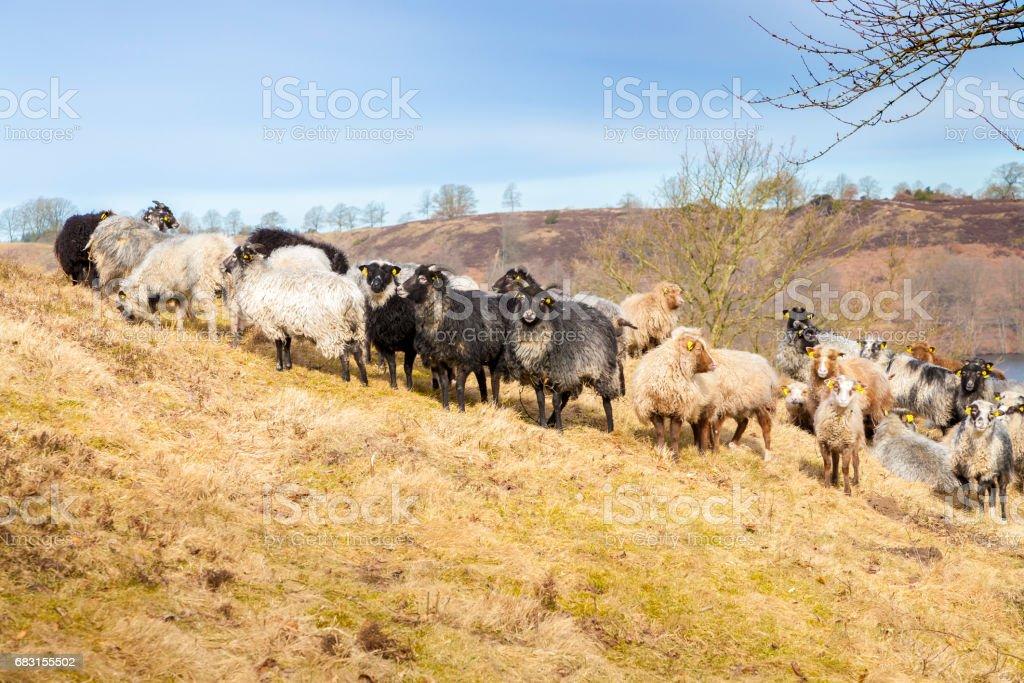 sheep on a hillside stock photo